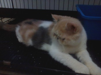 JUAL: Kucing Exotic Female Non Pedigree 3 warna Surya